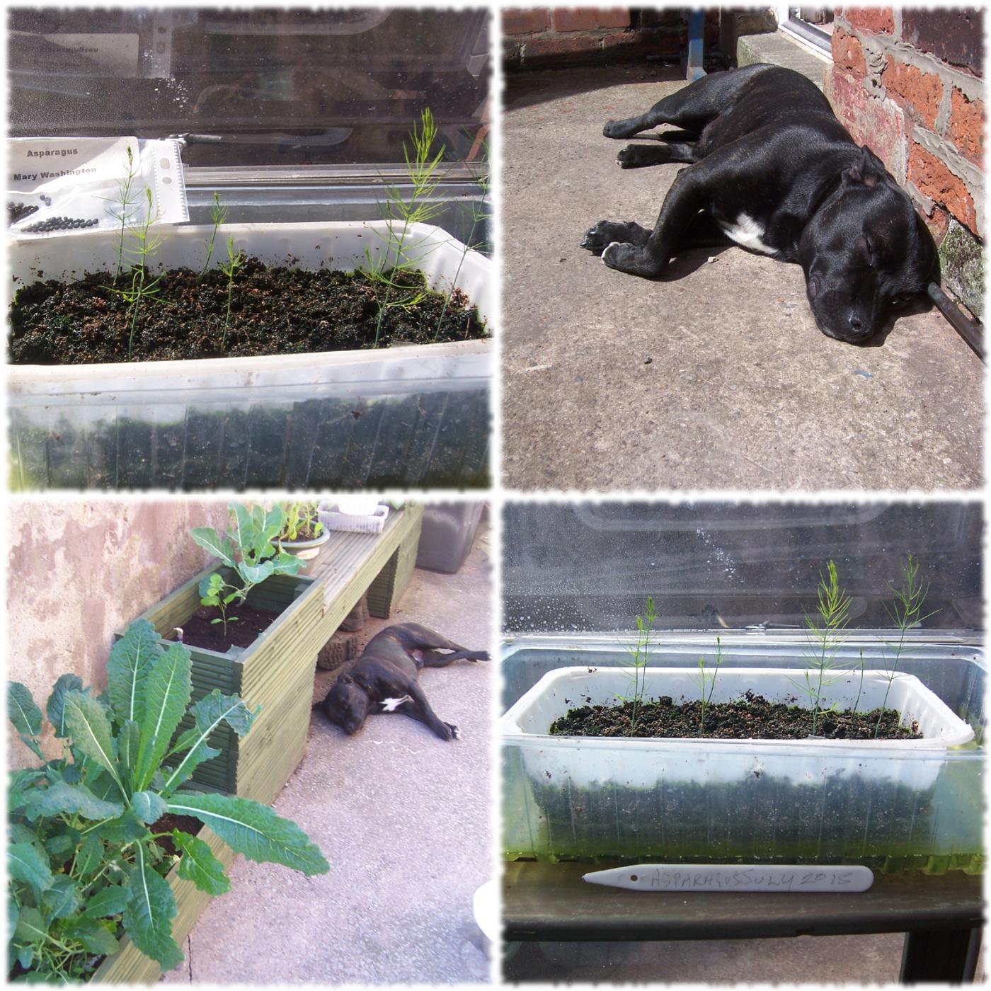 Planting Asparagus Seeds