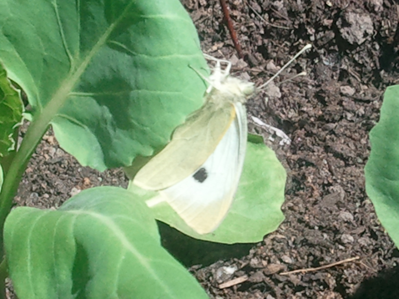 Cabbage Patch Butterfly