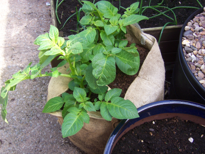 Spuds growing in a bag in me backyard