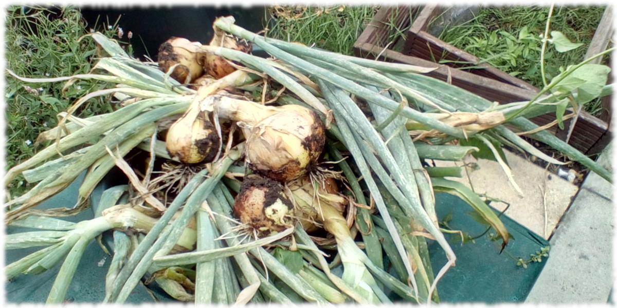 Home Grown Onions