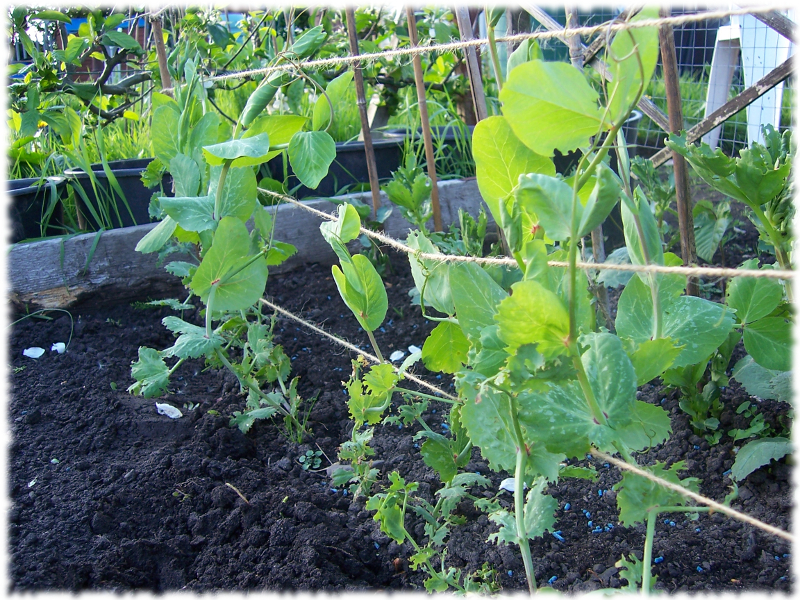 Peas growing