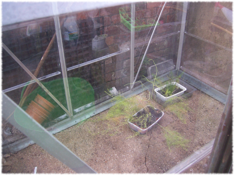 Asparagus growing in me greenhouse