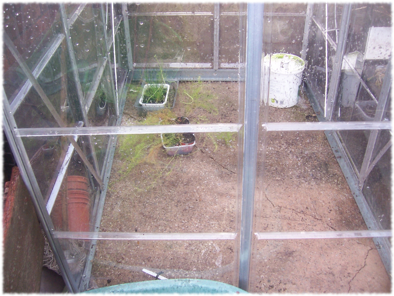 Asparagus still growing in me greenhouse