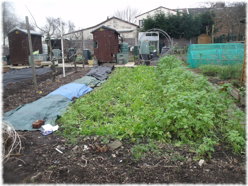 Two beds of green manure cut back on our 1st plot