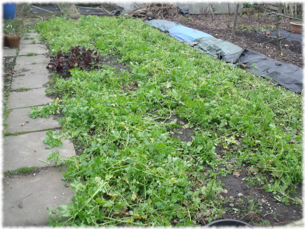 Three beds of green manure cut back on our 1st plot