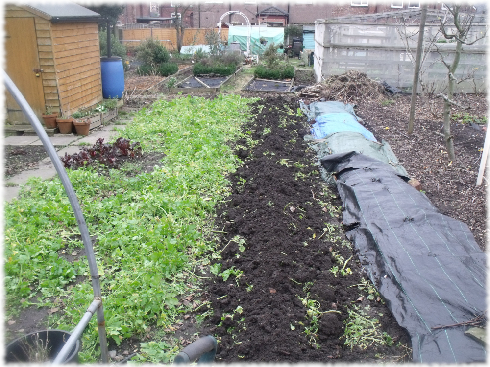 2nd bed of green manure turned over