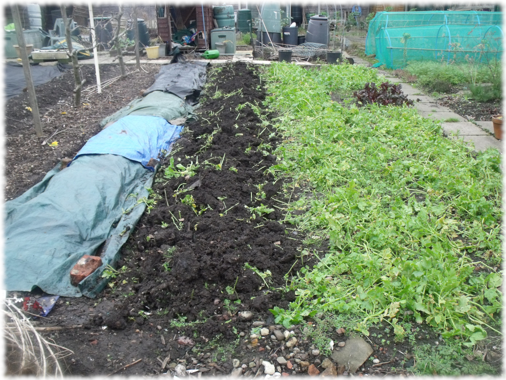Two beds of green manure left to turn over