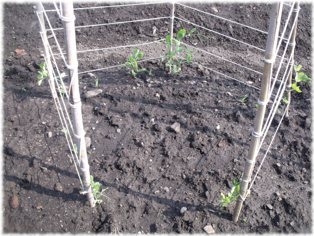 Direct Sown Peas Appearing