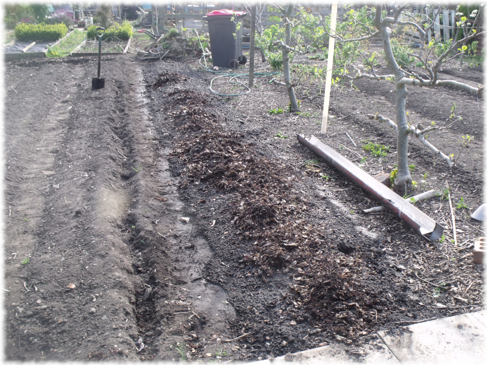 Composted Leaves spread Over Our Onion Bed