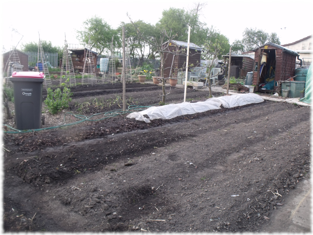 1st Bed of White Onions Covered On Our 1st Plot