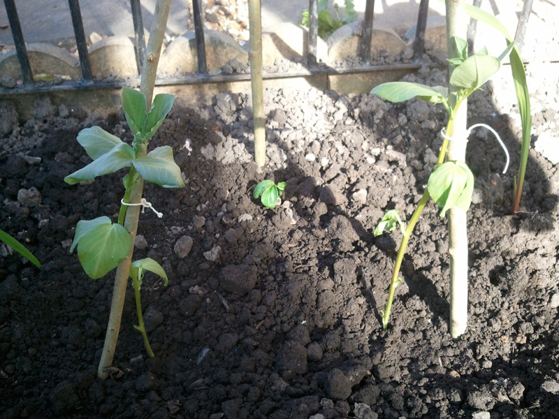Guerrilla Podcasts Home Grown Broadbeans.