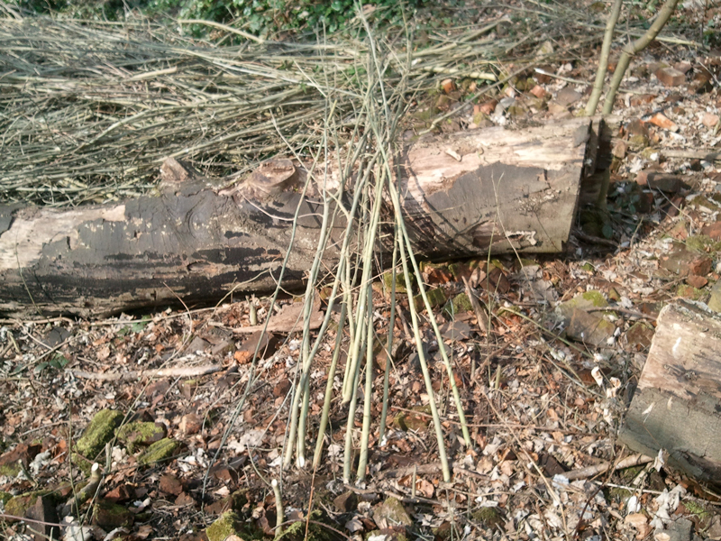 Recycling Ash Branches for Home Grown Garden Poles.