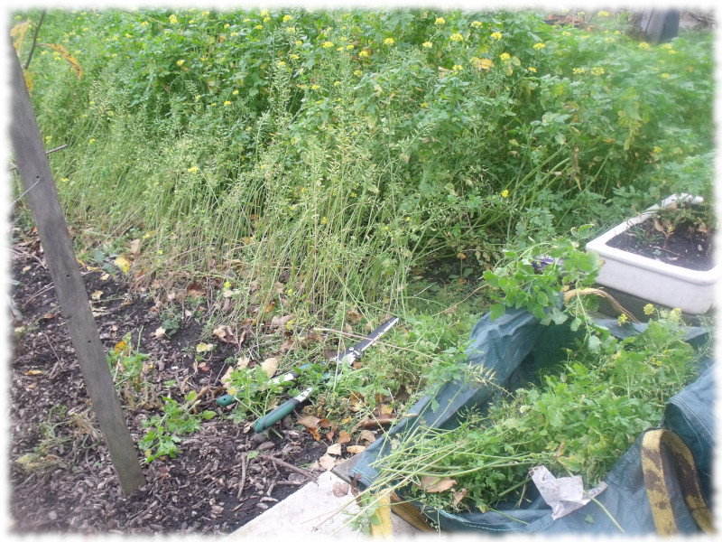 Making a start cutting back the green manure