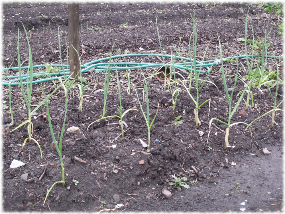 Garlic On The Grow