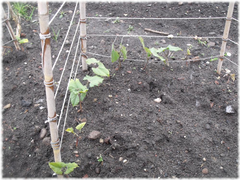 Beans On The Grow