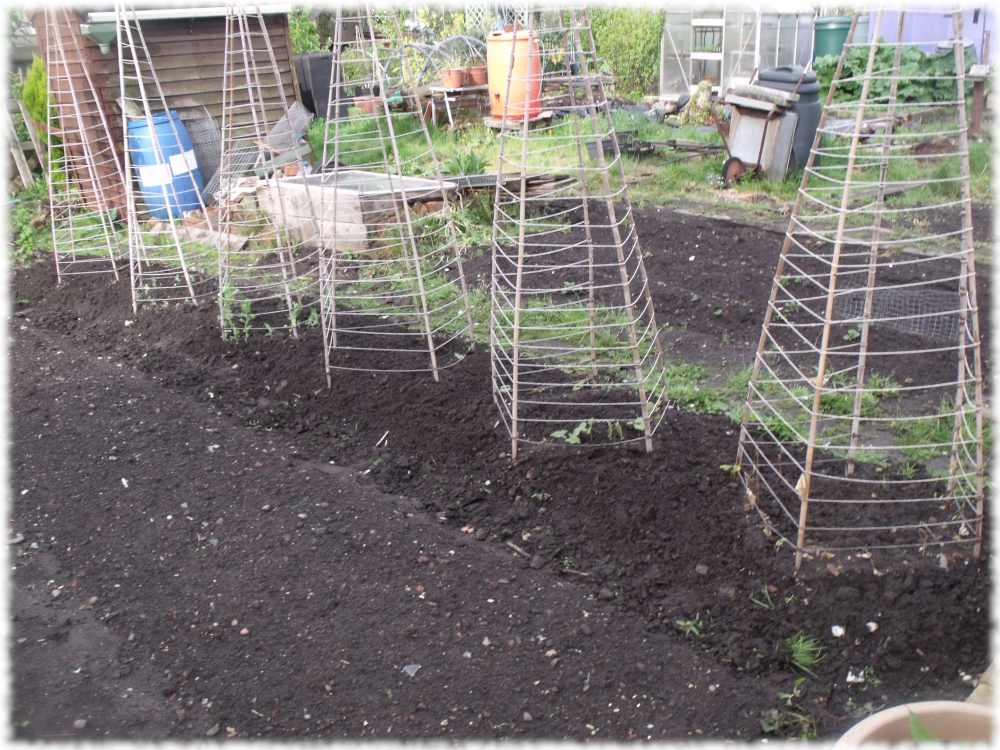 Wigwams On The Grow On Our 2nd Plot