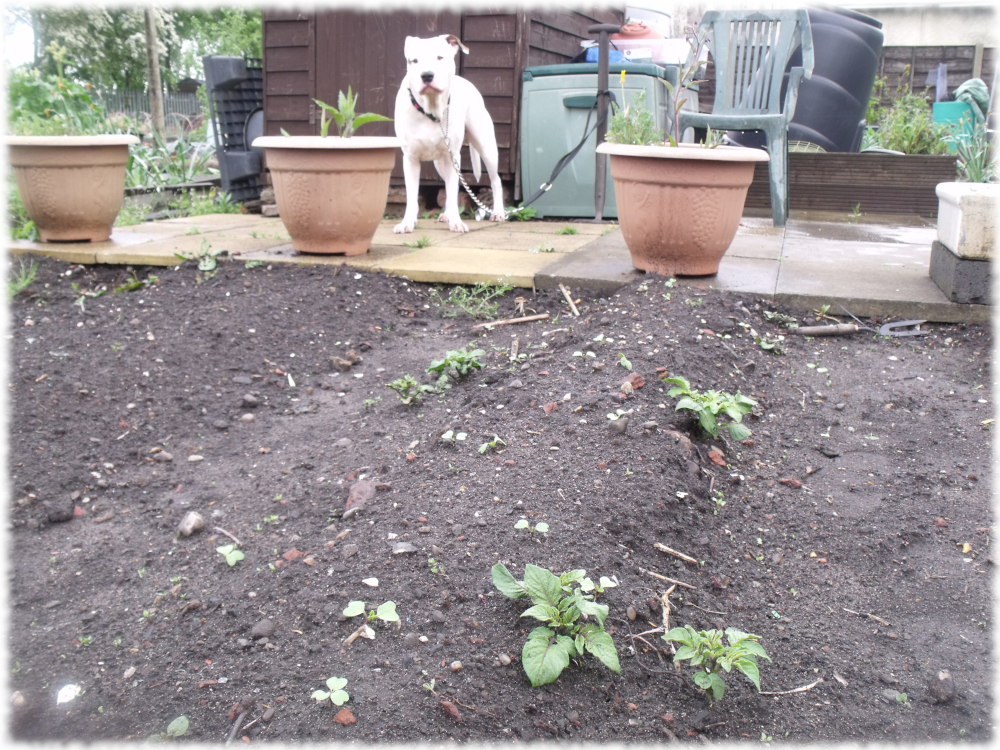 Spuds On The Grow