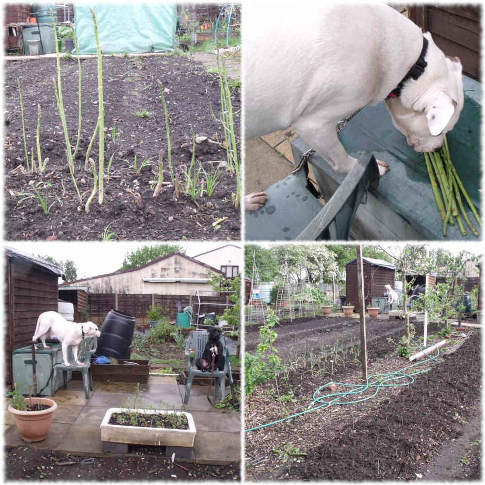 Harvesting Our Home Grown Asparagus