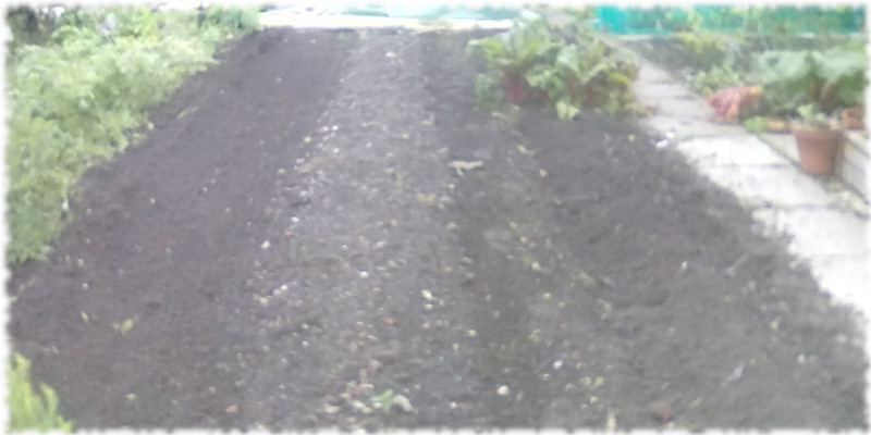 Green Manure (White Mustard) broadcast on our beds on our 1st plot