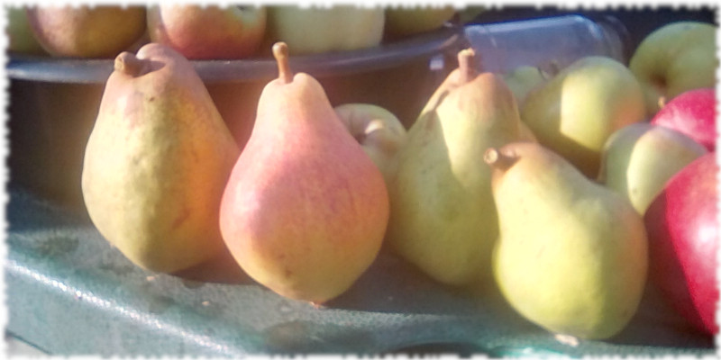 Pears picked