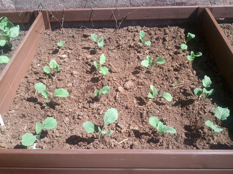 Guerrilla Podcasts Bedding Box 3 Purple Sprouting Broccoli