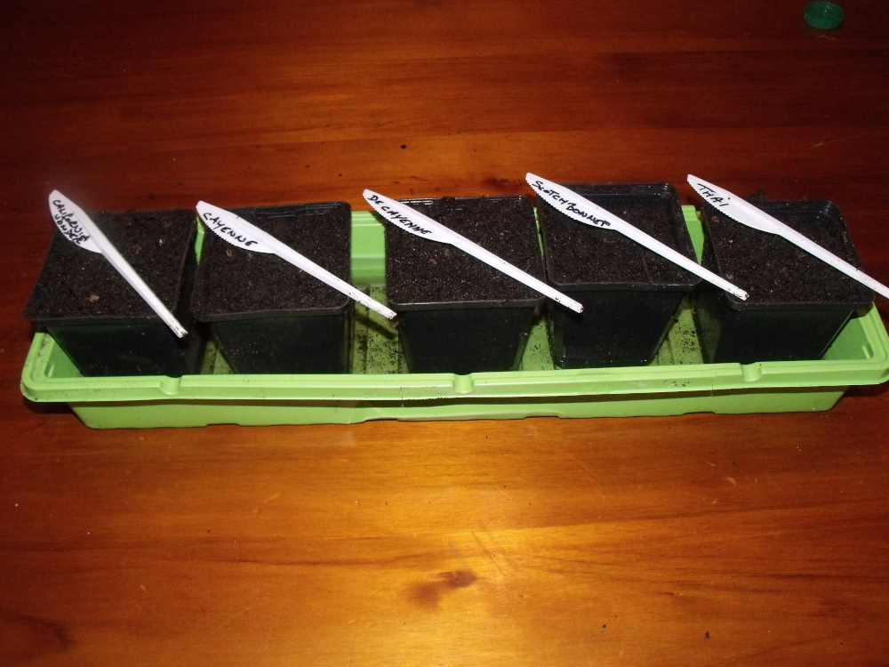 Chillies Sown
