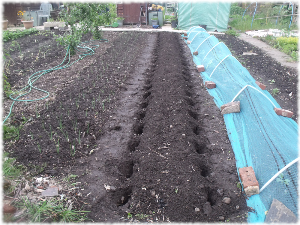 Potatoes Sown On Our 2nd Bed