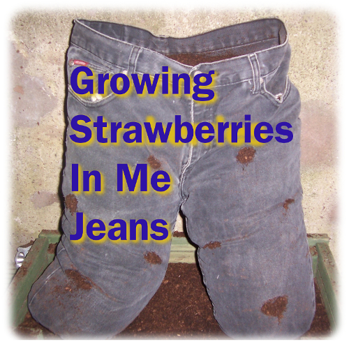 Growing Strawberries in Me Jeans