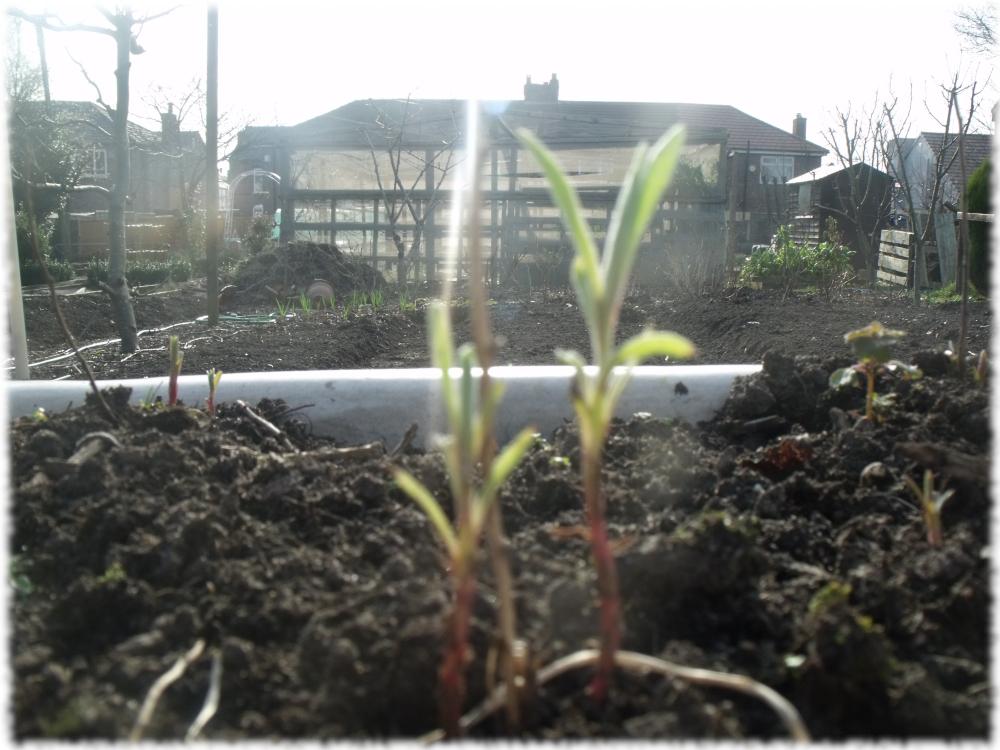 Tarragon On The Grow
