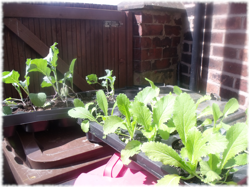 Wong Bok & January King Cabbages Growing In Recycled Trays