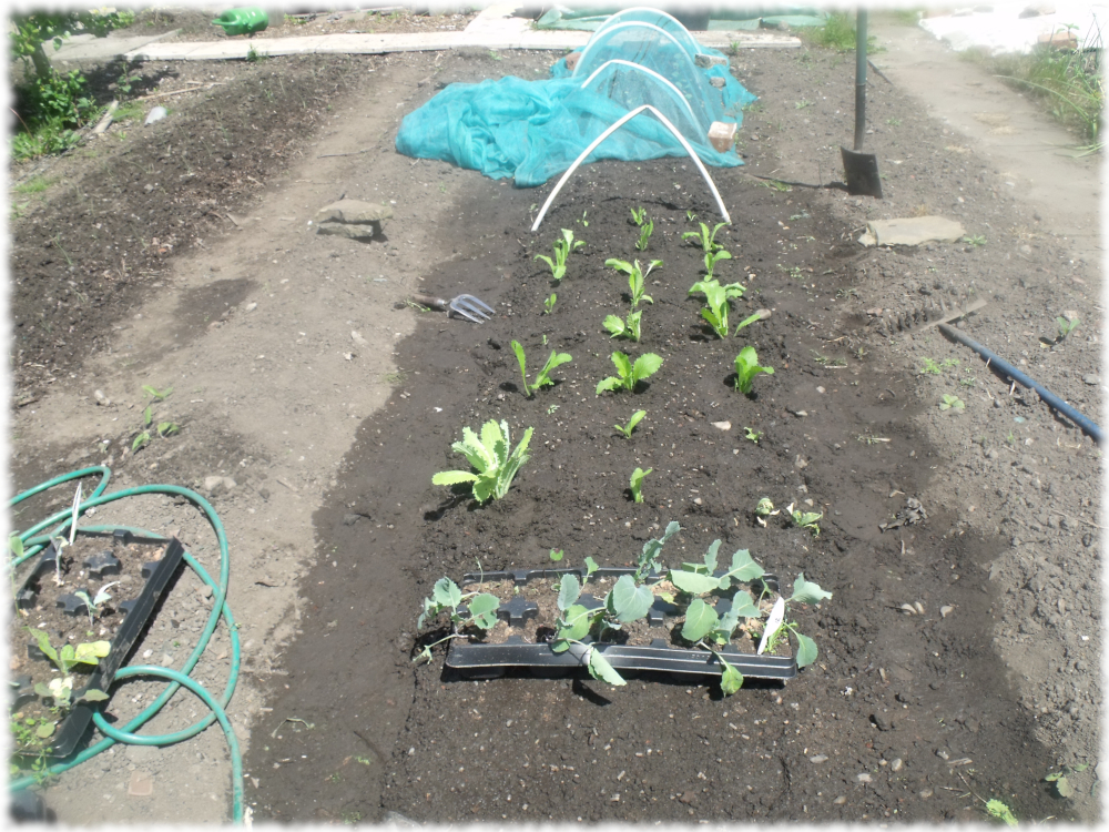 Wong Bok cabbages Transplanted