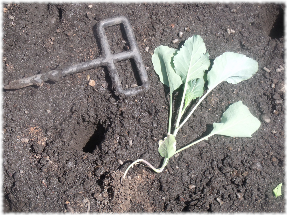 Dig A Hole and Plant A Seed - January King Cabbage