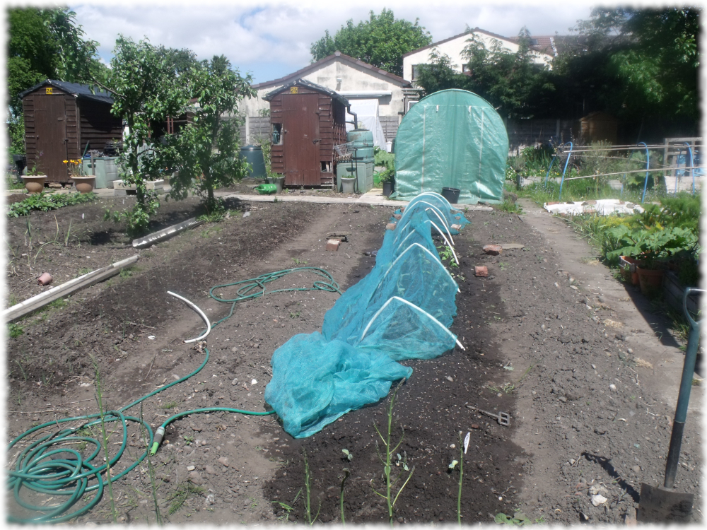 Covering Cabbages With Netting