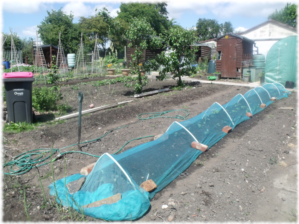 Cabbages Covered With Netting