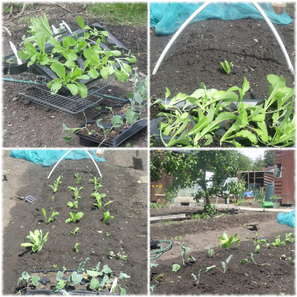 Transplanting Cabbages