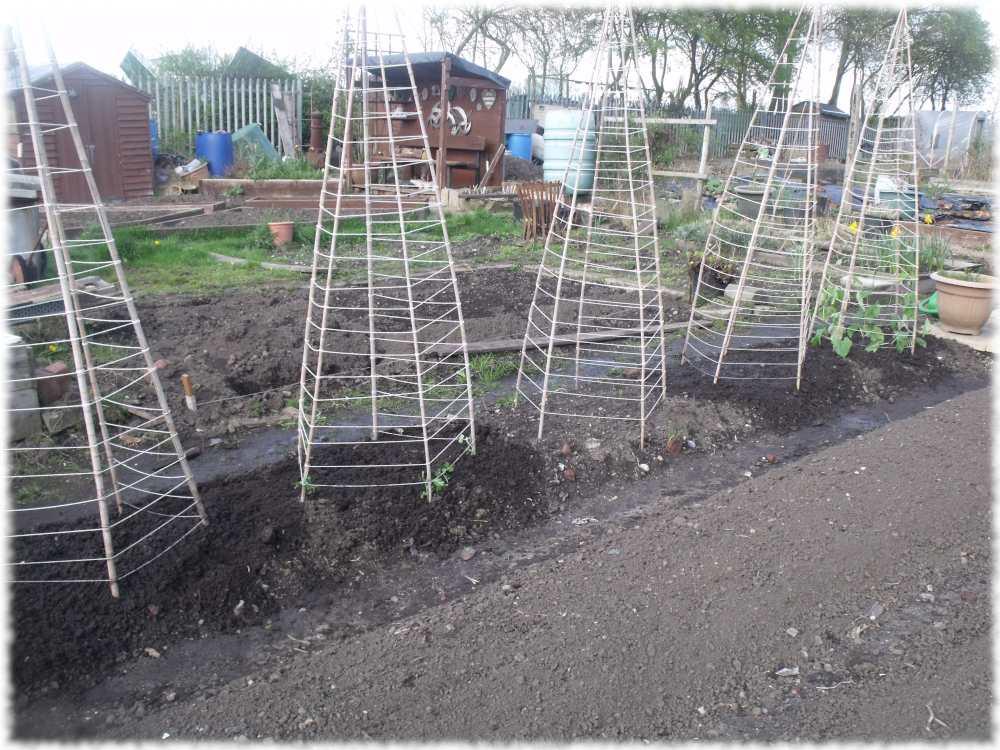 Beans & Peas Transplanted & Direct Sown In Our Wigwams