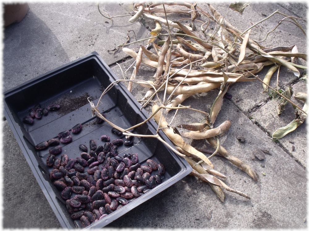 Beans Dried In Shed Over Winter