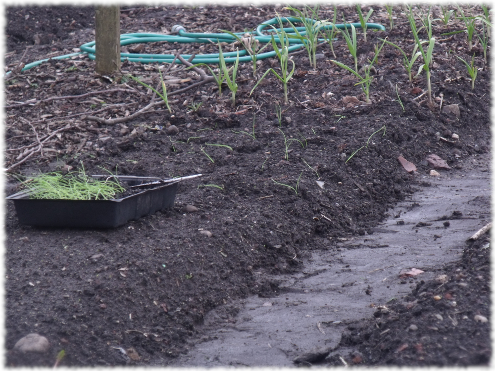 On A Roll Transplanting Our Onions