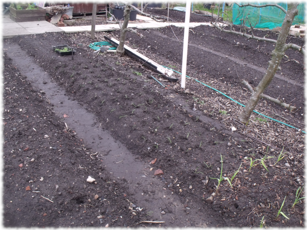 Almost Finshed Transplanting Onion Seedlings On Our 5th Bed