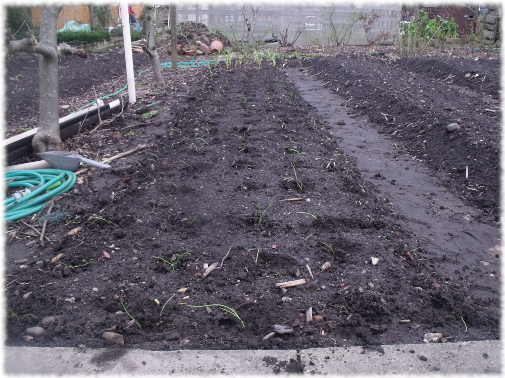 Sorted Transplanting 120 Red Brunswick Onion Seedlings On Our 5th Bed