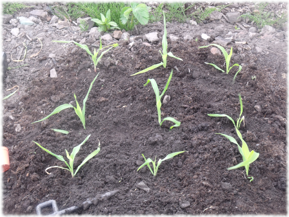 Sweetcorn Transplanting On The Grow