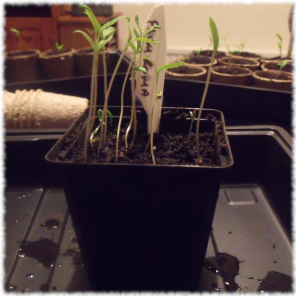 Plum Roma Tomato Seedlings