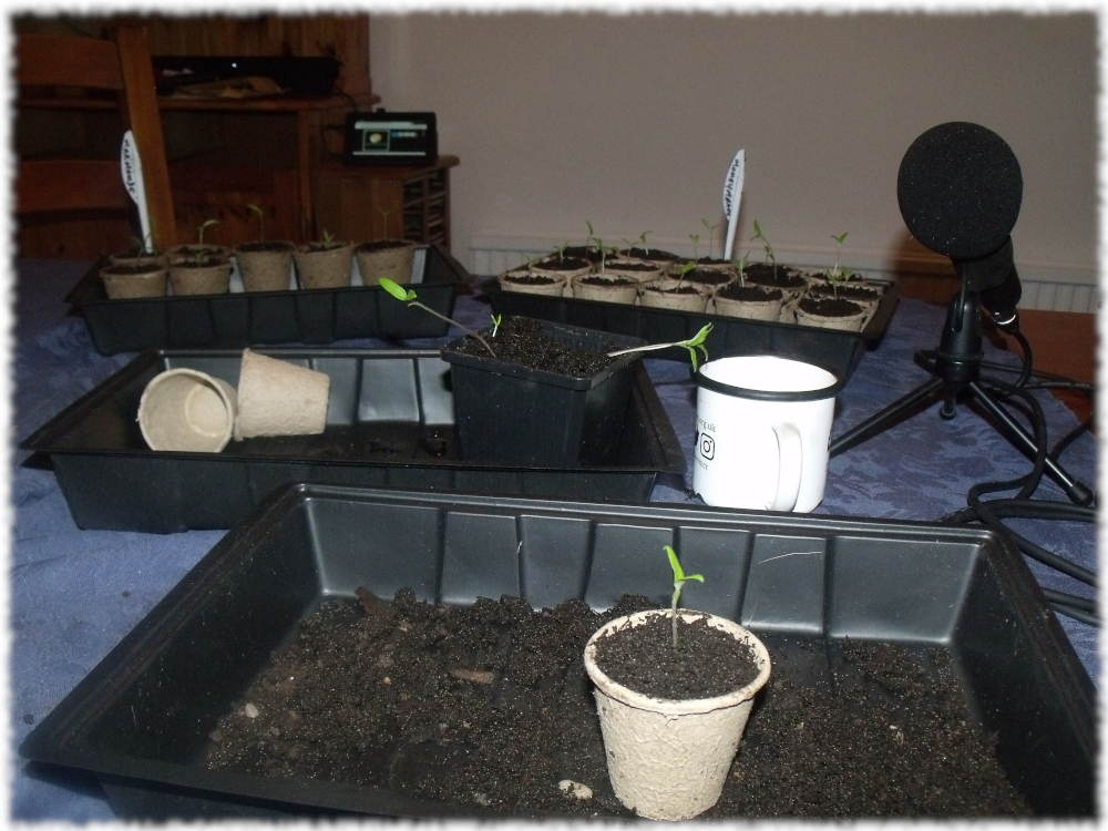 Transplanting Many More Tomatoes