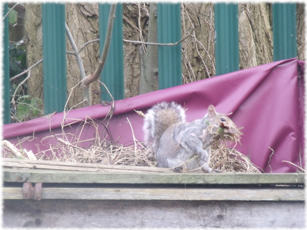 Squirrel Sorting More Bits & Bobs For His Nest