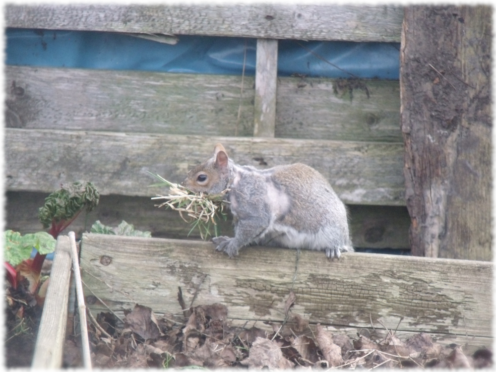 Squirrel Collecting For Nest