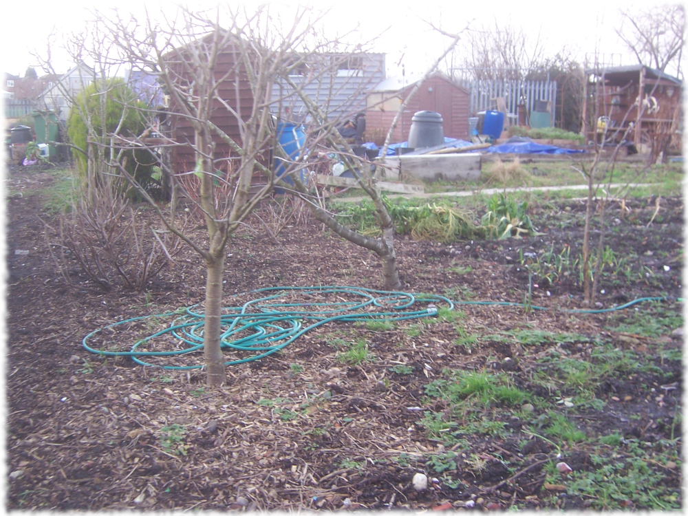 First glimpse of our two cherry trees on the 2nd plot