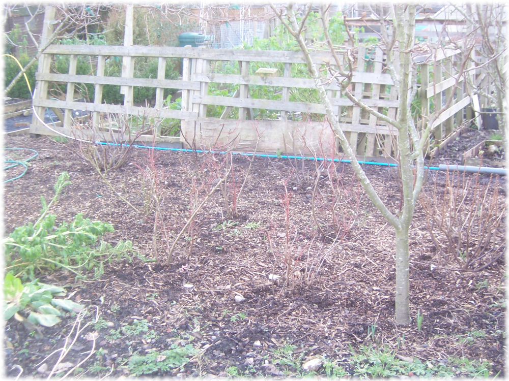 First impressions of our Pear trees and fruit section on our 2nd plot