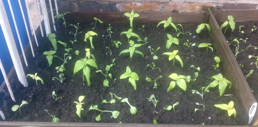 Sunflowers & Radish in our backyard