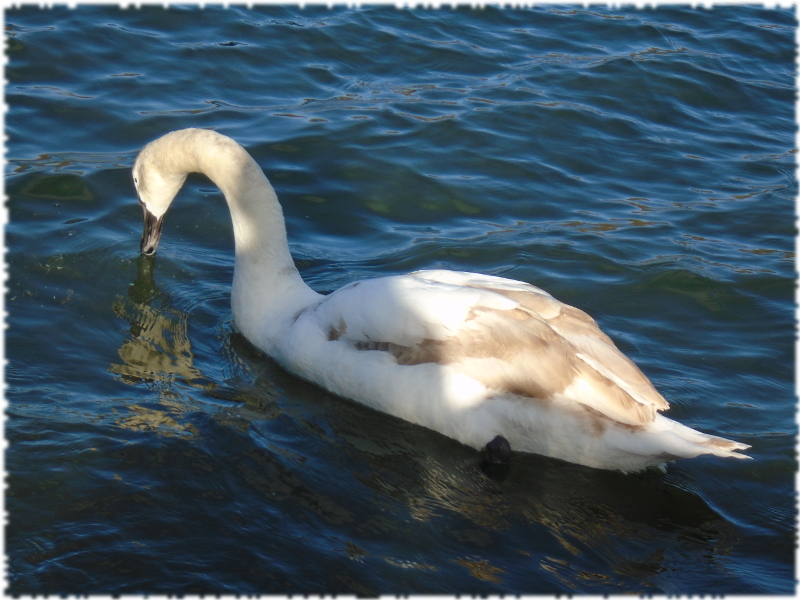 Swans on Clifton Marina